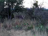 Whitetail Buck Deer Trophy Hunt