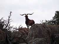 Gold Metal Catalina Ram Hunts in the Granite Rocks of The Central Texas Grounds