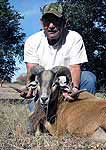 Hunting corsican rams in the rolling hills of texas