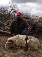 rifle hunt merino exotic ram